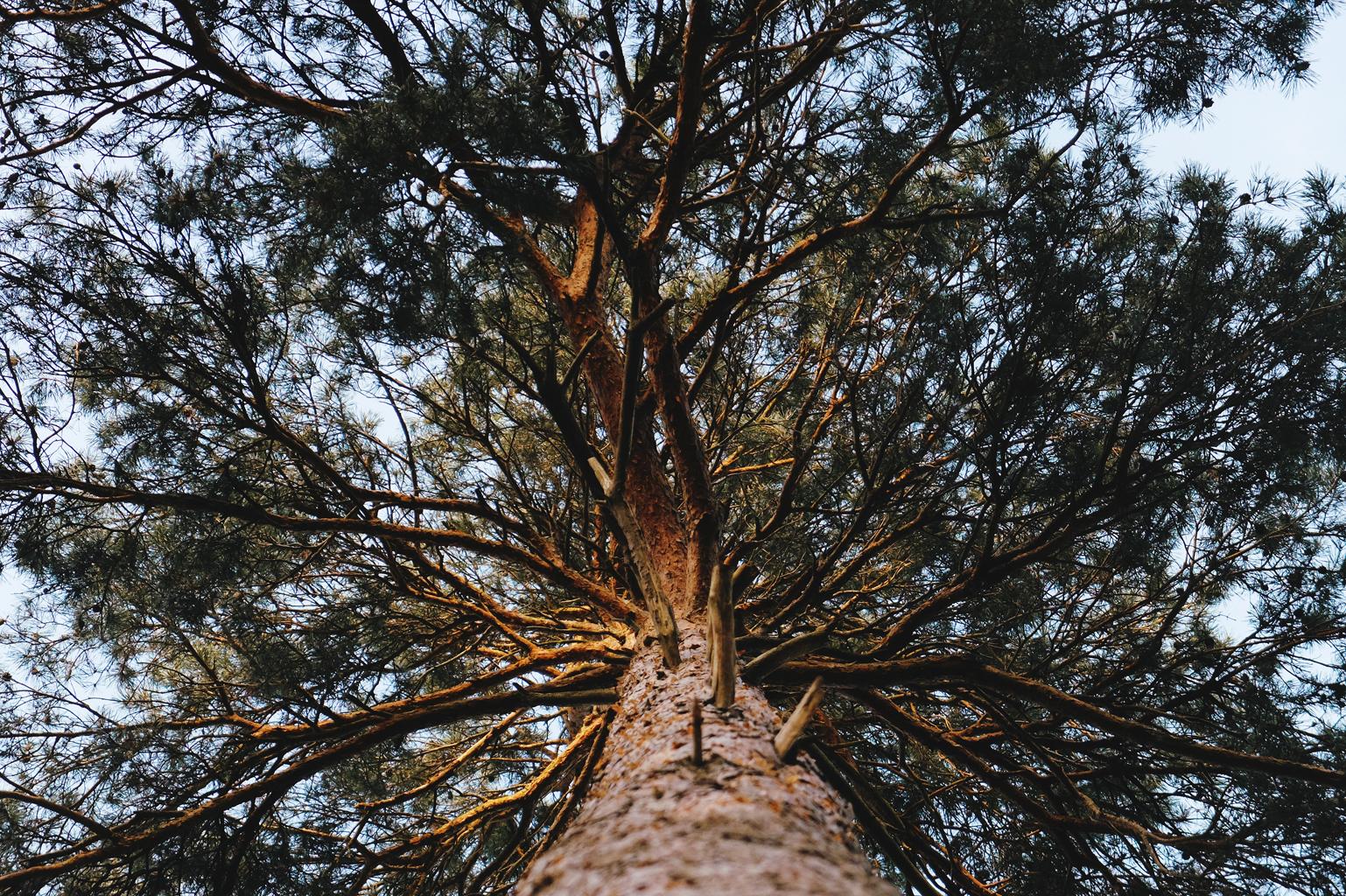 crackling_pines_1.jpg