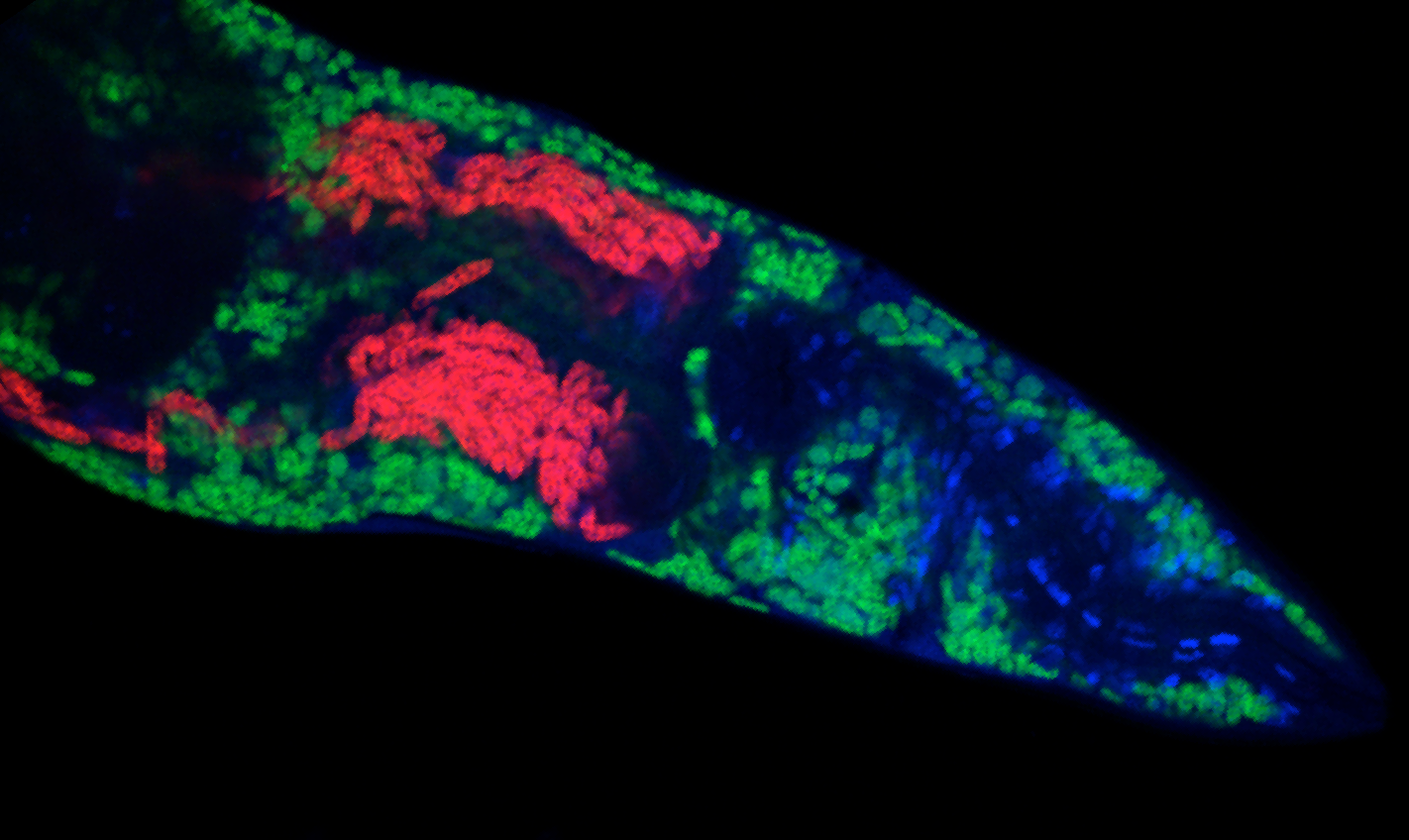 Two different microsporidia species, Nematocida parisii (red) and Nematocida displodere (green) infecting C. elegans  Picture credit: Robert Luallen