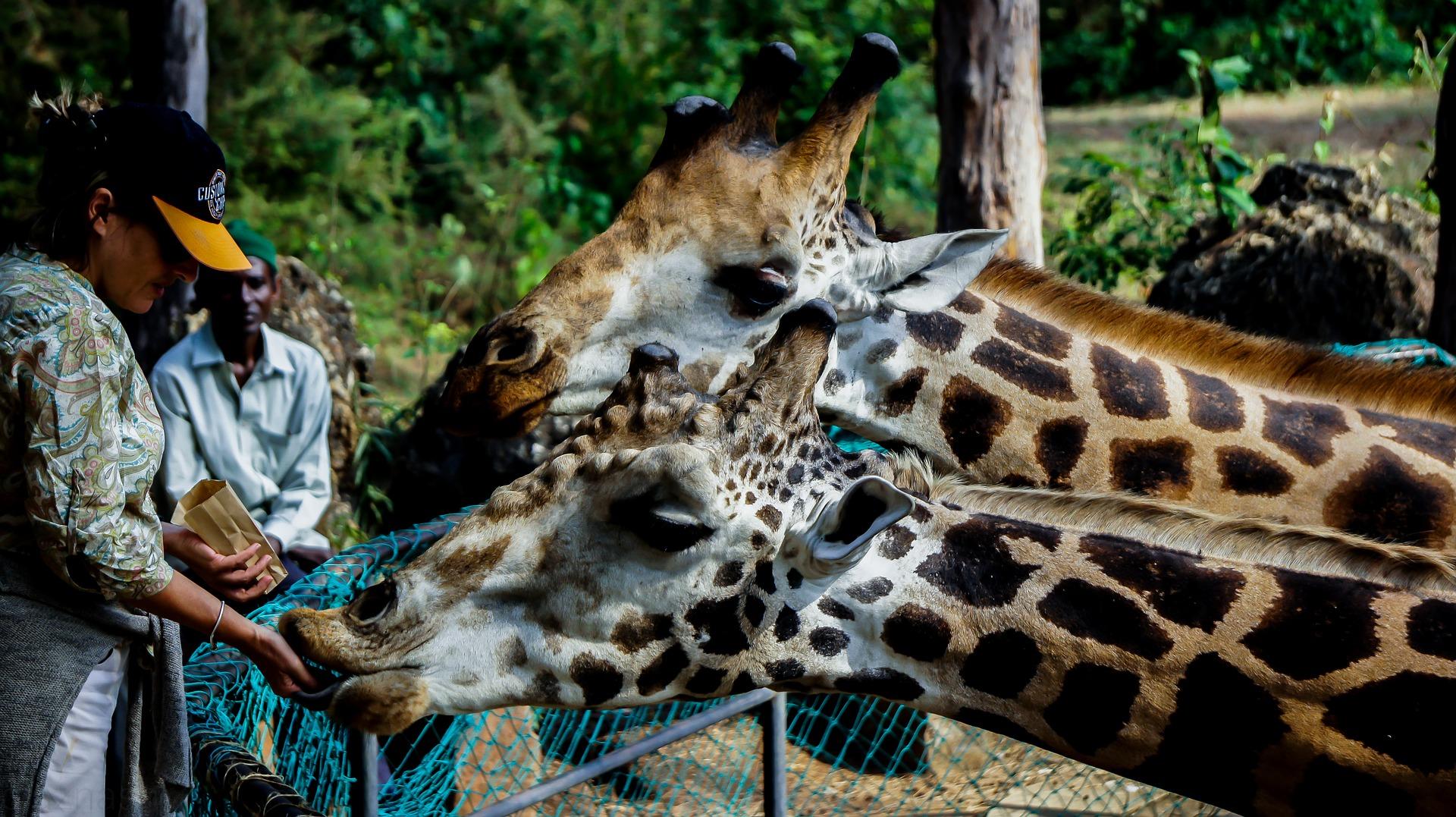 giraffe-2656060_1920.jpg