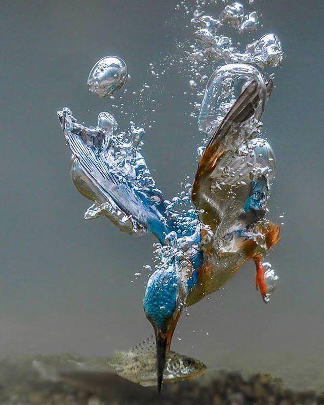 Un alcedino pescando.