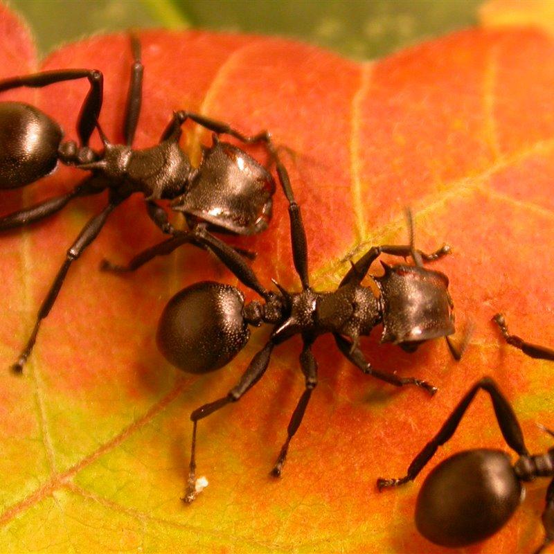 hormigas-arboreas_5c8f4558_800x800.jpg