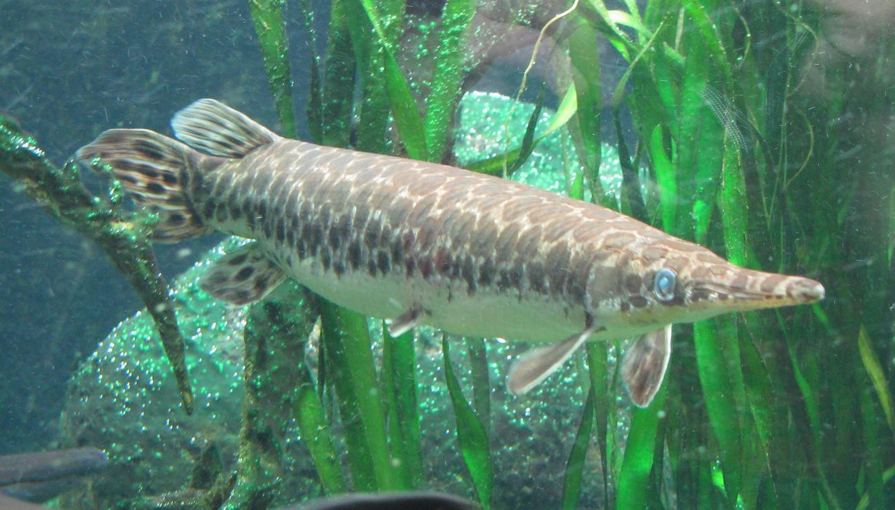 Kaimanfisch_(Lepisosteus_oculatus).jpg
