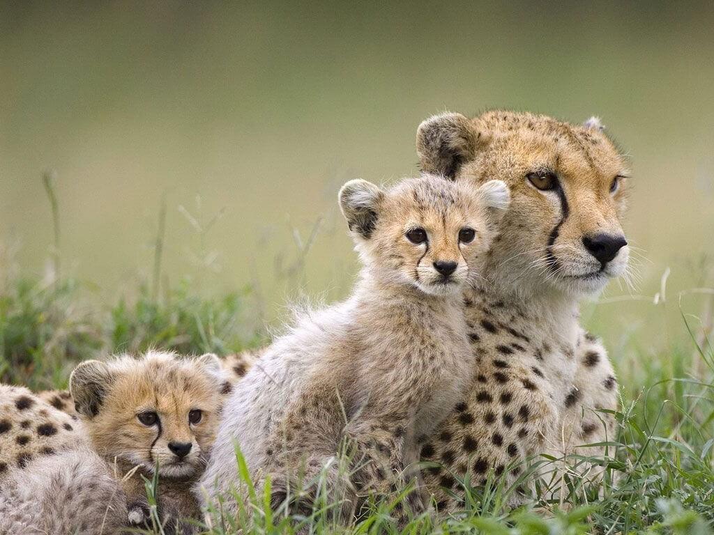 Leopardo-animales-en-vía-de-extinción.jpg