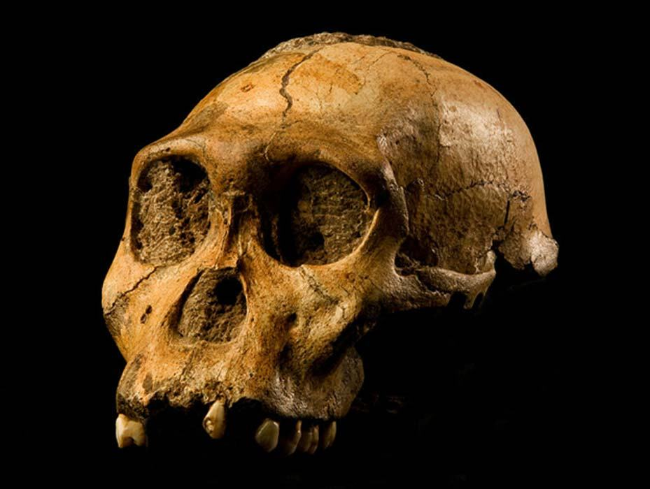 australopithecus-sediba-2019.jpg