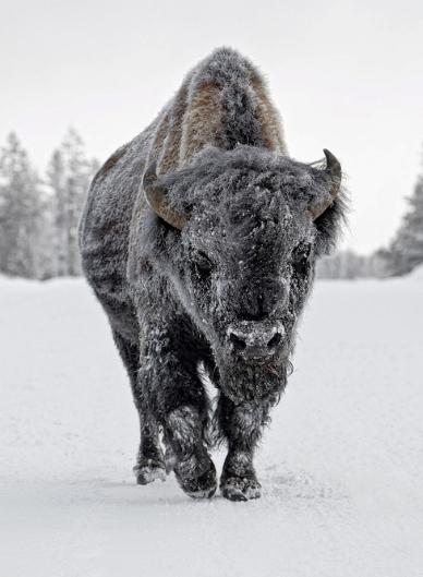 Buffalo 2.jpg