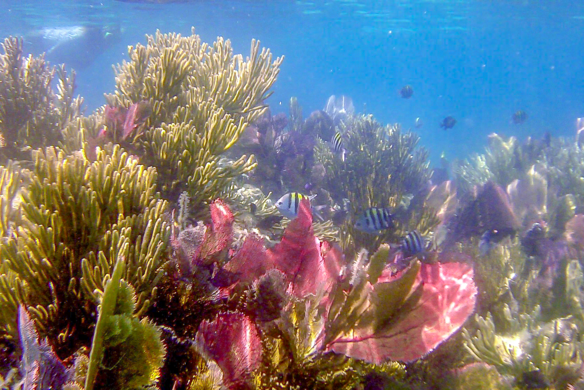 Coral close to Ambergris Caye, Belize