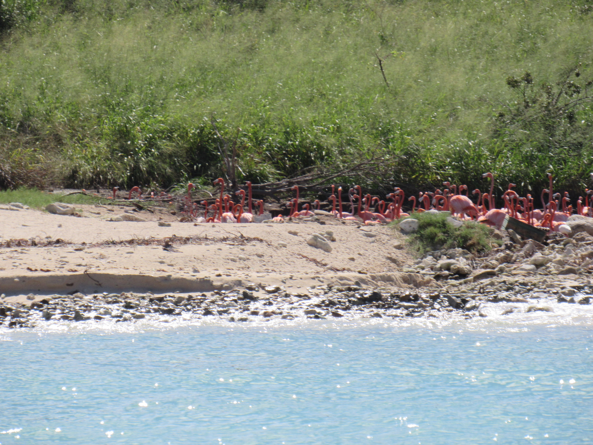 Pink Flamingos on Necker Island, BVI