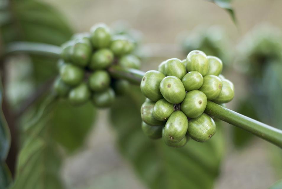 greencoffeecherries.jpg