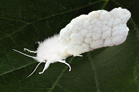 Cauliflower Moth