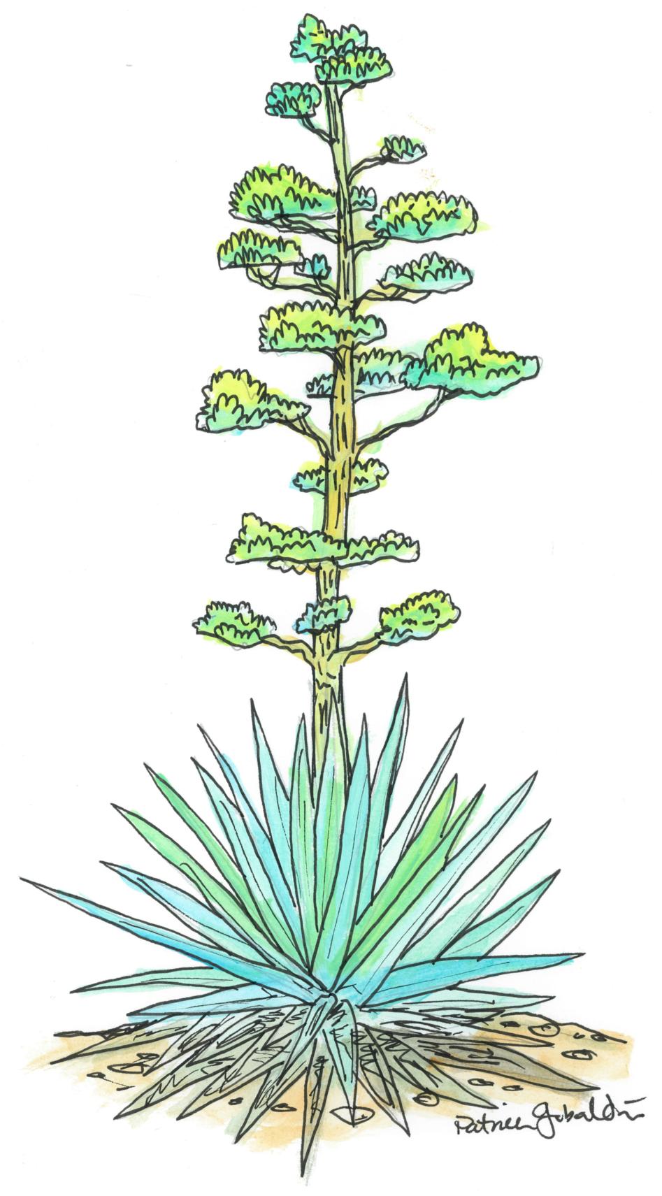 Blooming Agave.jpg