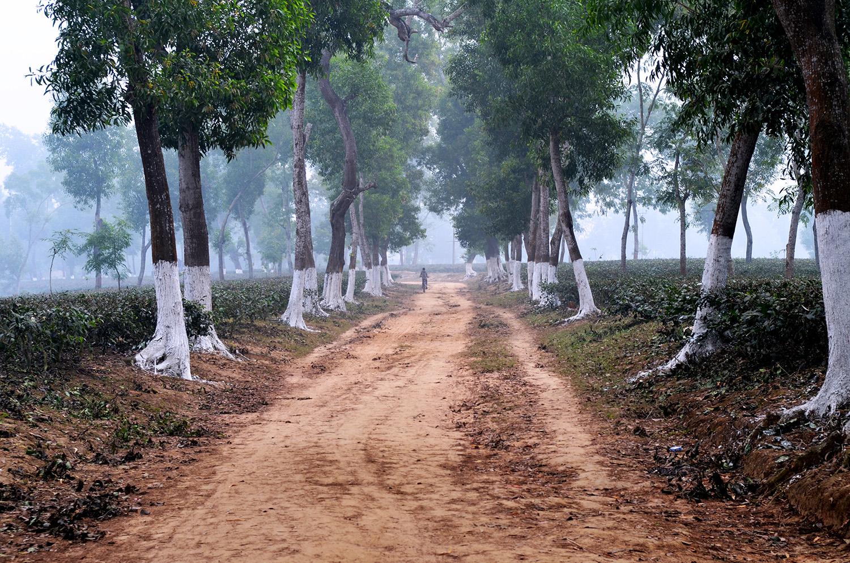 Trees in northern Bangladesh's tea gardens