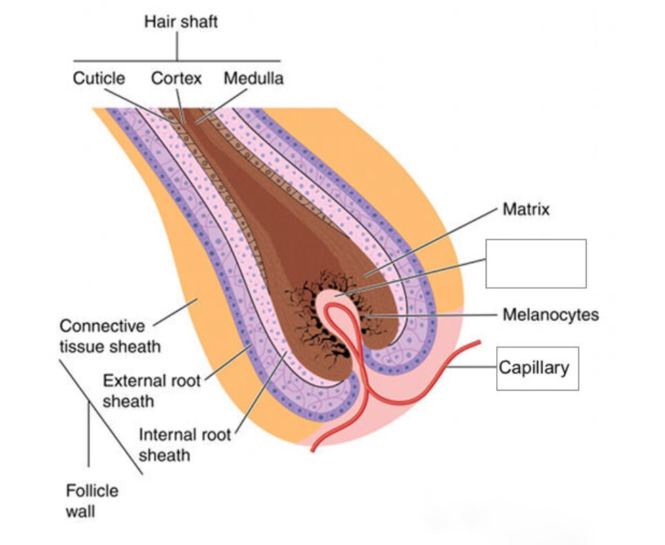 Hair is formed from hair follicles. The lower part consists of hair papilla, hair matrix, hair shaft, inner sheath and outer root sheath. The hair papilla is the source of hair growth and consists of a number of blood tissues and cells. The matrix wraps around the papilla and provides access for the capillaries with nutrients. Improvement of blood circulation in the scalp can have a very close relationship with healthy hair and a blood circulation disorder caused by the compression of the capillaries is one of the causes of hair loss. (Kim, NH M.S. Daeguhanny University; 2009).