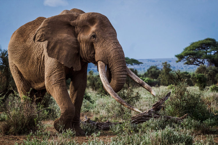 """Craig, May 2017. Photo: Copyright © 2019 <a href=""""https://www.ryanwilkiephotography.com/amboseli-tuskers"""">Ryan Wilkie.</a>"""