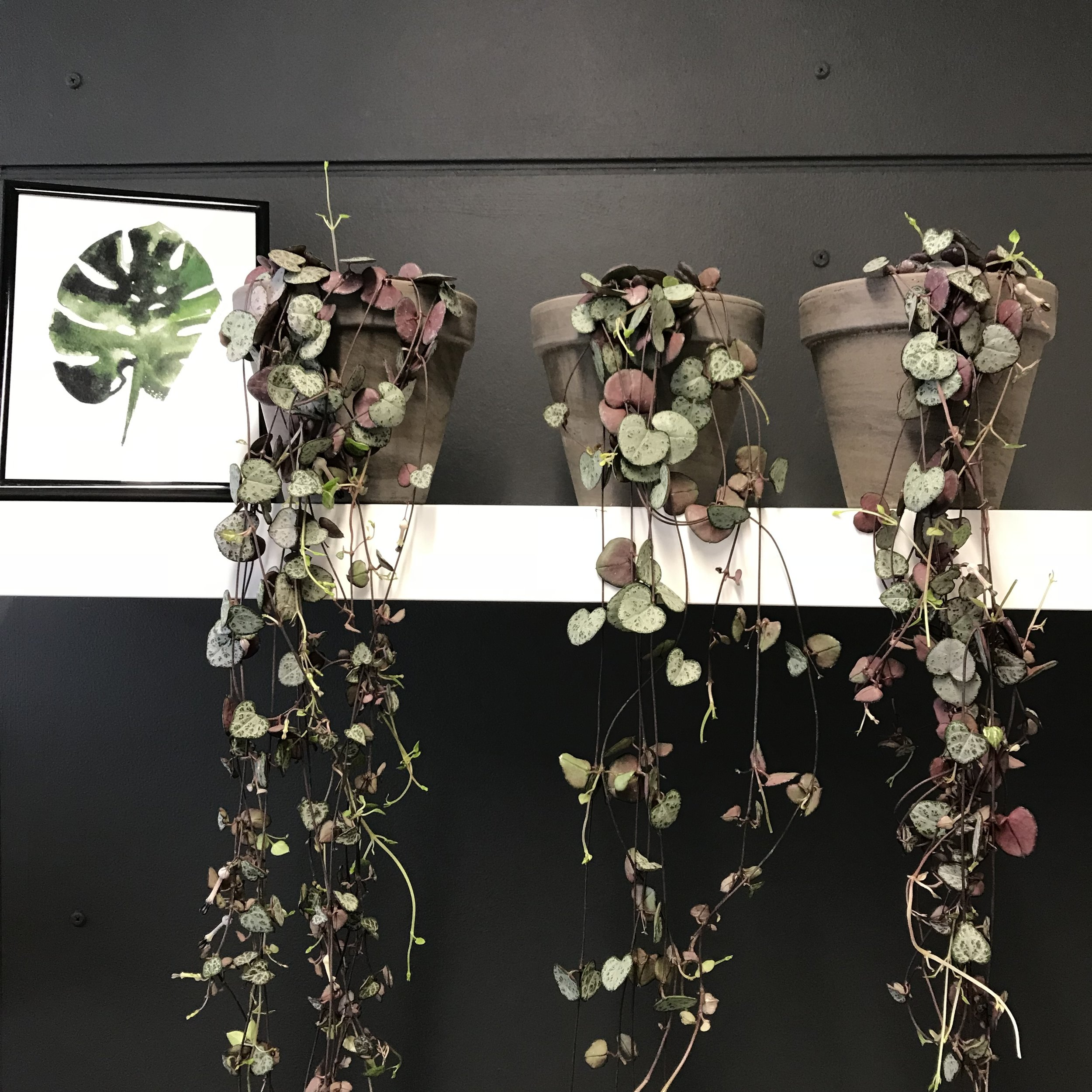 The gorgeous  String of Hearts  plant.