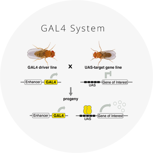Targeted gene expression in cell-specific patterns   The GAL4 system is one of the most powerful tools for targeted gene expression. It allows for temporal and spatial control of gene expression in vivo and has been adapted for many experimental uses.     Click for more information and reagents.