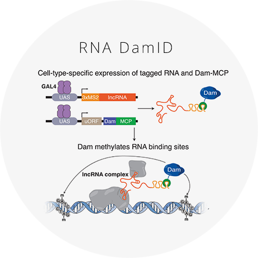 Mapping long noncoding RNA-DNA interactions  in vivo    RNA DamID combines Targeted DamID with the MCP-MS2 system to profile long noncoding RNA (lncRNA) binding sites in the genome in specific cell types.   Click for more information and reagents.
