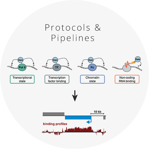 Tools for preparing Targeted DamID samples and data analysis     Click for the latest molecular biology protocols   and analysis pipelines for Targeted DamID.