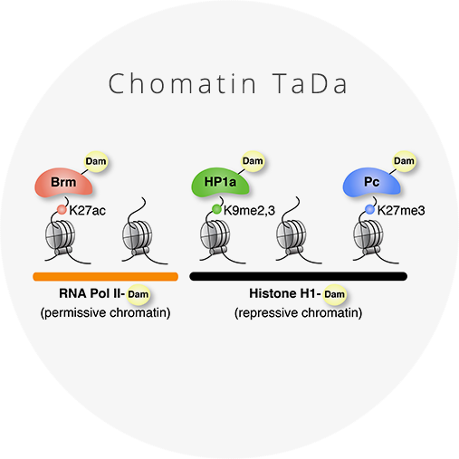Chromatin DamID.png