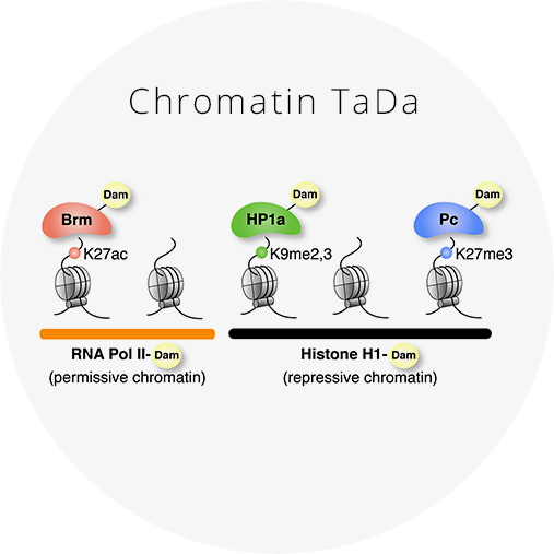 Determining chromatin states in specific cell types  in vivo    Chromatin TaDa uses Targeted DamID to assess the genome-wide occupancy of chromatin-binding proteins  in vivo . Chromatin states can be determined by profiling RNA Pol II, Brm, HP1a, Pc and Histone H1 binding.   Click for more information and reagents.