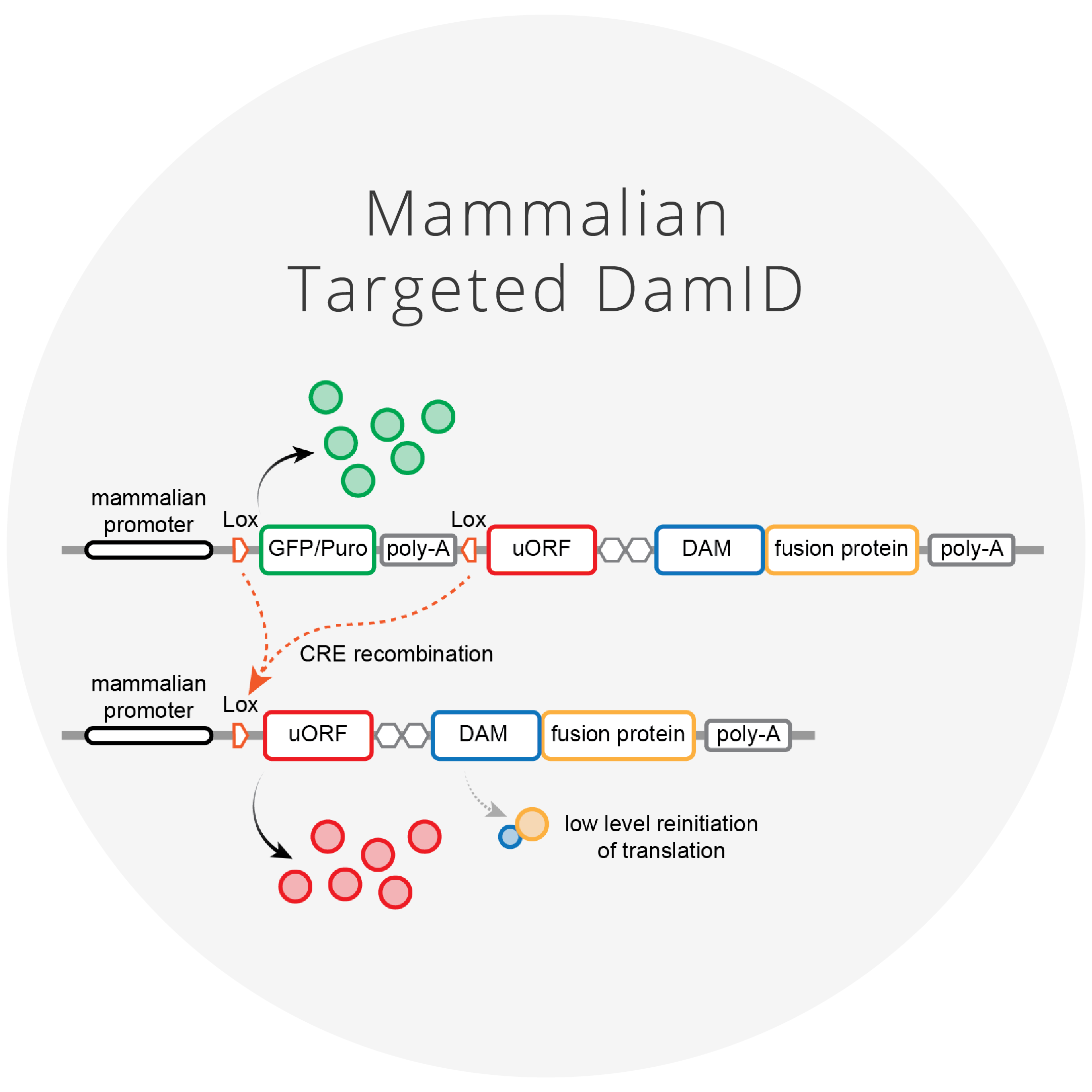Mammalian Targeted DamID   We have modified TaDa to generate mammalian TaDa (MaTaDa), which can be used to identify genome-wide protein/DNA interactions in 100 to 1000 times fewer cells than ChIP-based approaches.   Click for more information and reagents.