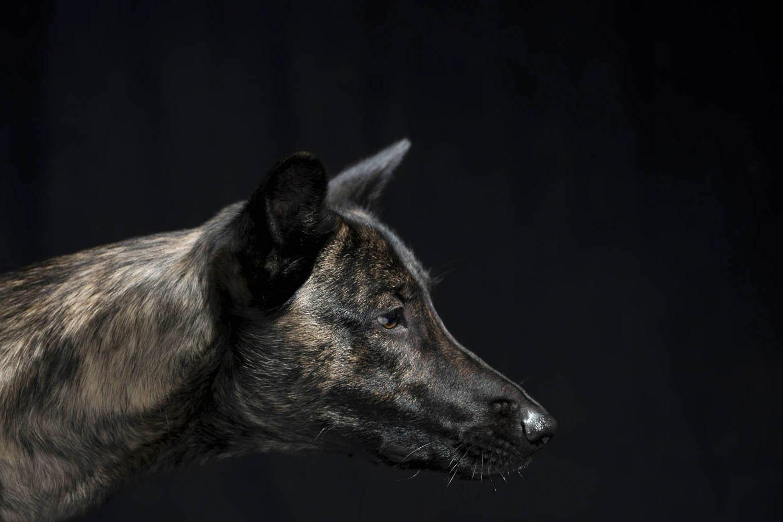 Indigo, Hollandse-Herder-Hündin, zertifizierter Bettwanzen-Spürhund