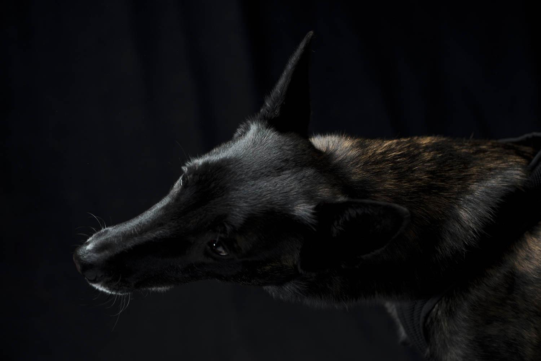 Rosa, Hollandse-Herder-Hündin, zertifizierter Bettwanzen-Spürhund