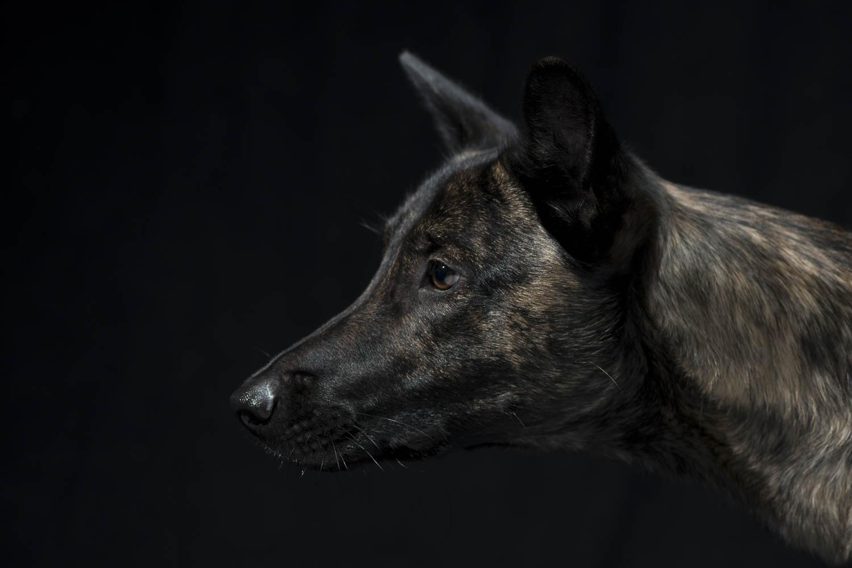 Indigo, Hollandse-Herderhündin, zertifizierter Bettwanzenspürhund