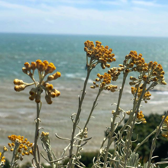 One of my most vivid memories of Mum was walking along the Leas at Folkestone and smelling the curry plants. Wonderful to see (and smell) them today. Fragrant and in full flower.