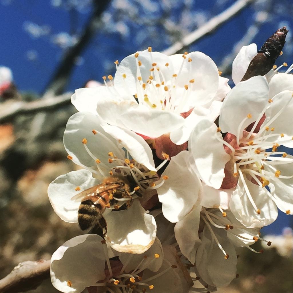 Bees visiting peach blossoms