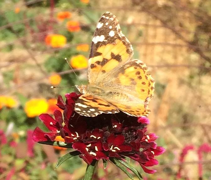 Butterfly on Scabiosa
