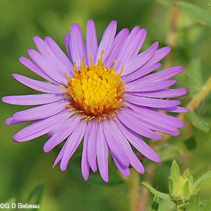 aromaticasterflower.jpg