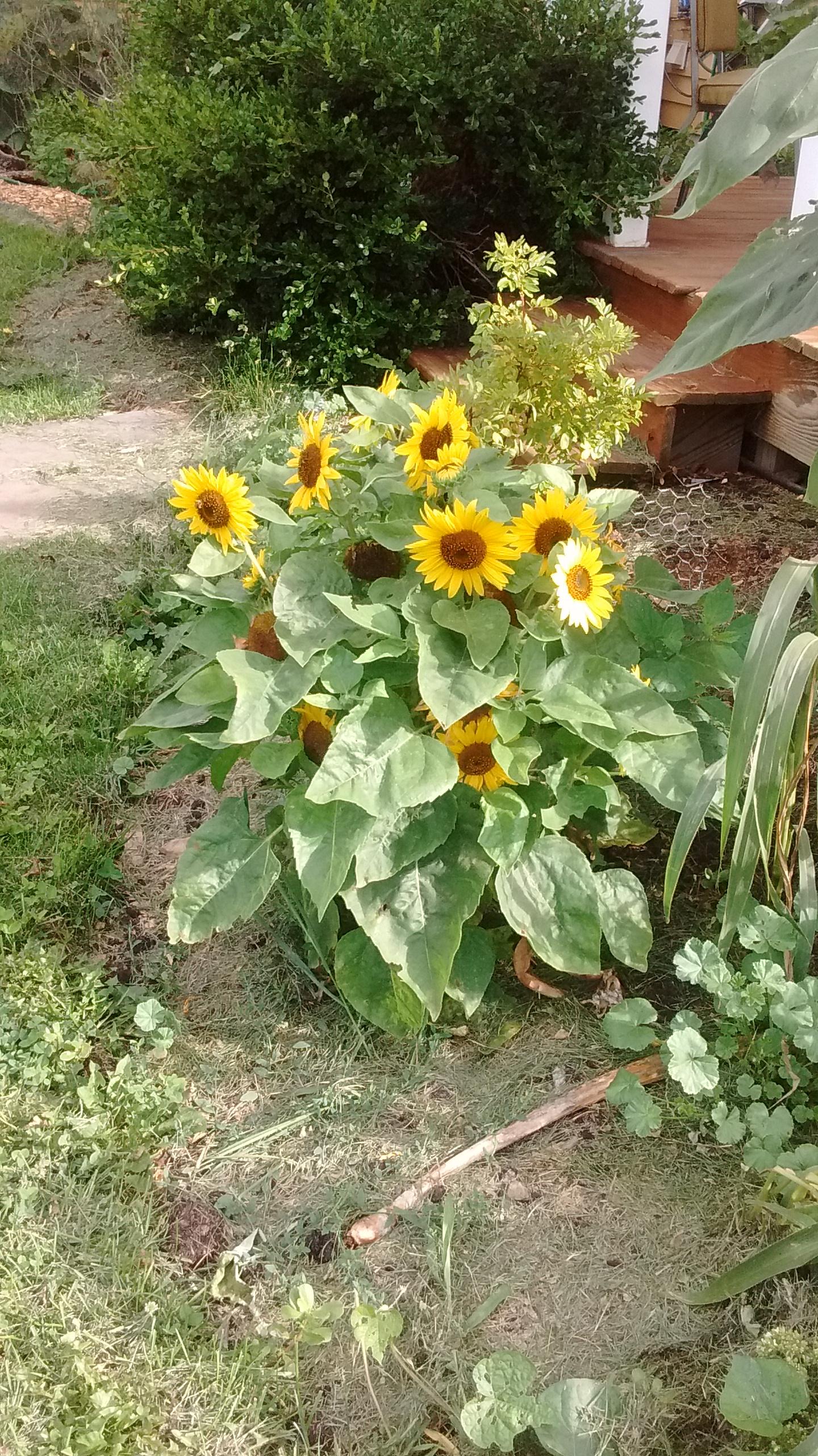 dwarf sunflowers.jpg