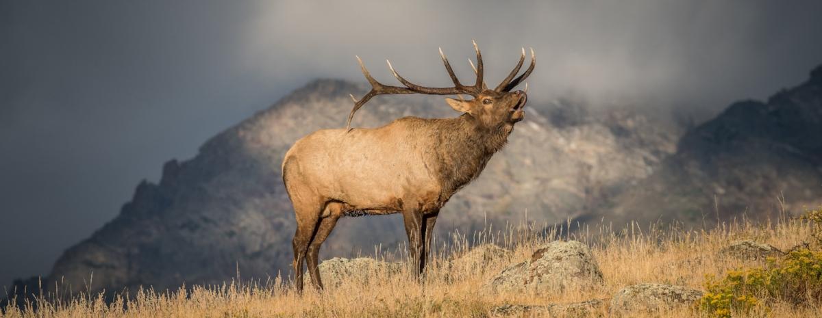 elk-bull-bugling-mountains-rockymountainnationalpark-MattDirksen.jpg