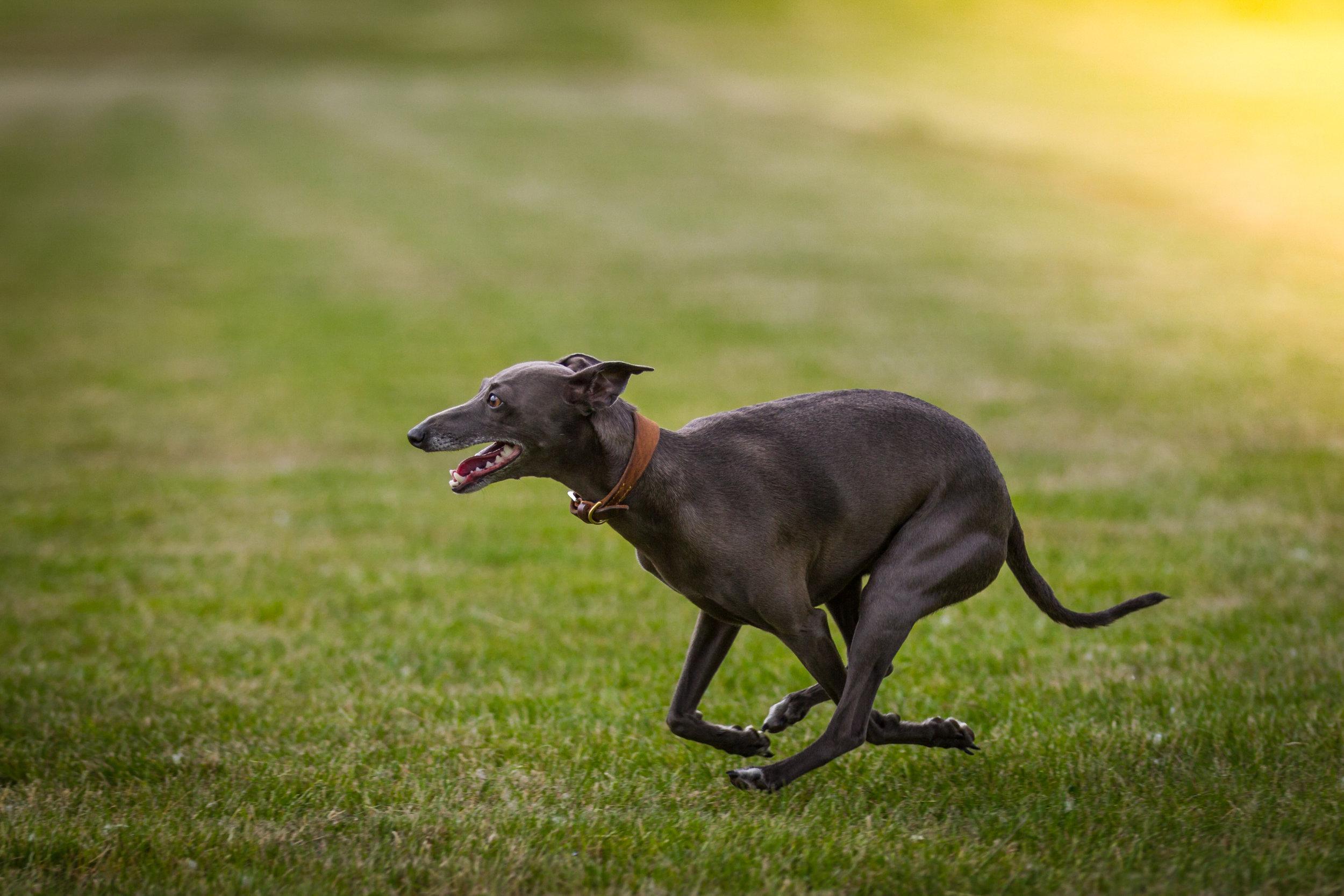 Greyhounds (9).jpg