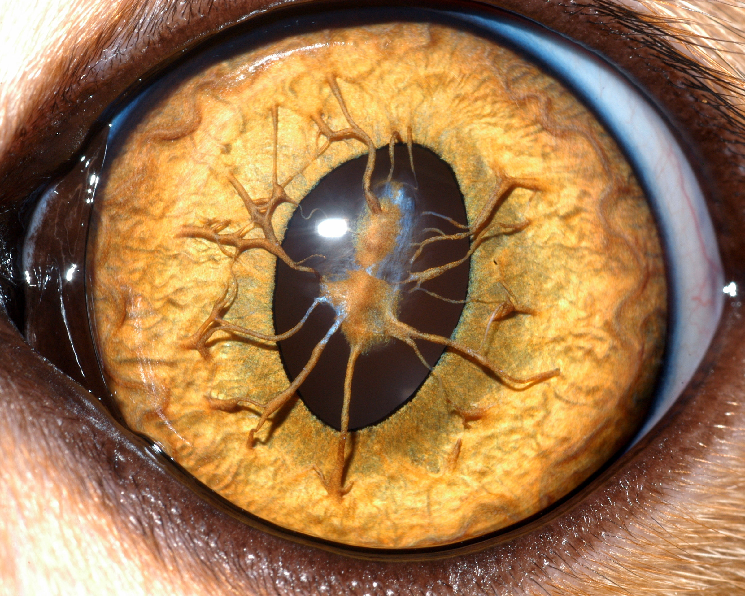 Dr. Sara Thomasy, UC Davis Comparative Ophthalmology Service