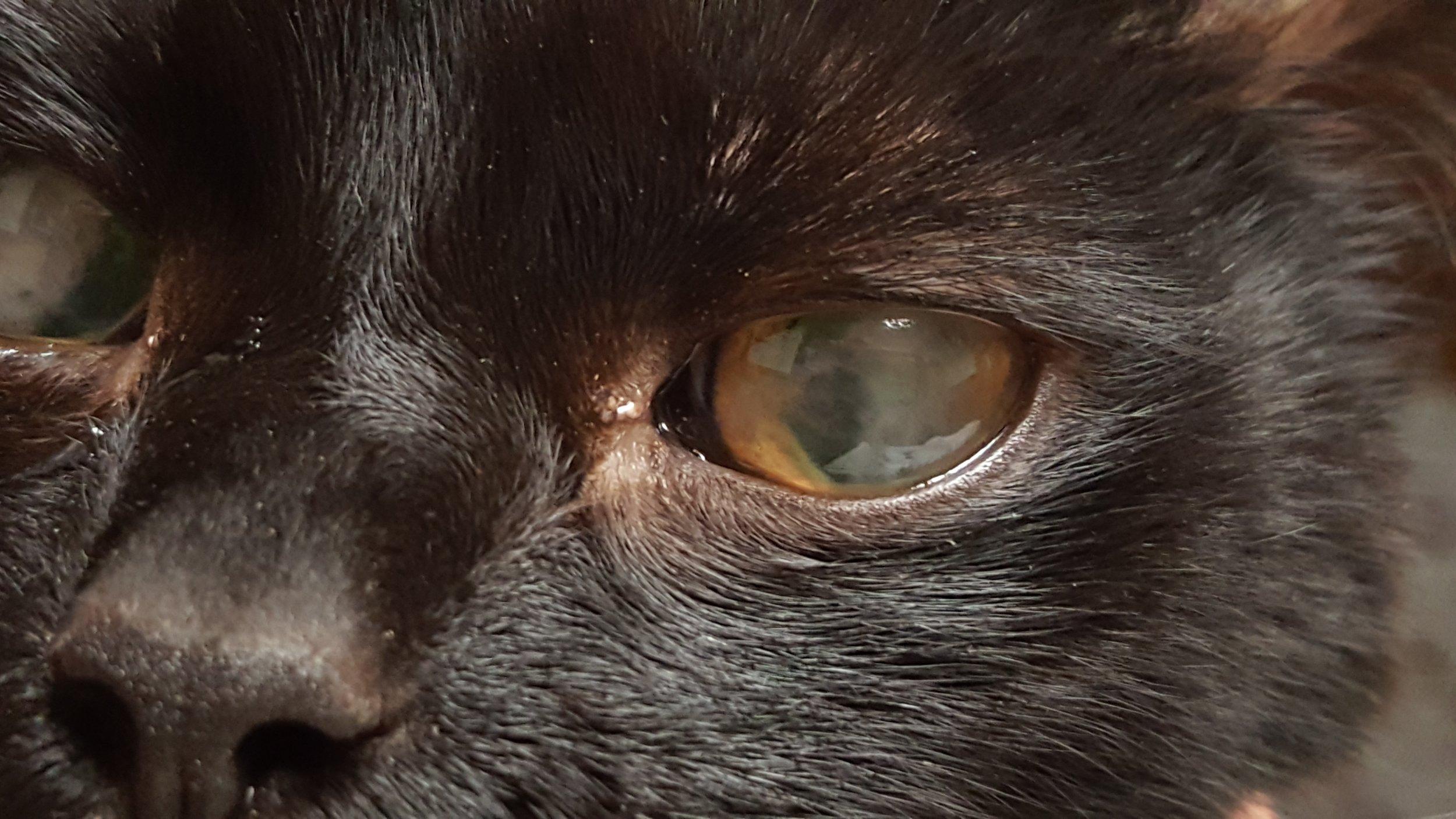 Intraocular fibrin clot on a cat #3
