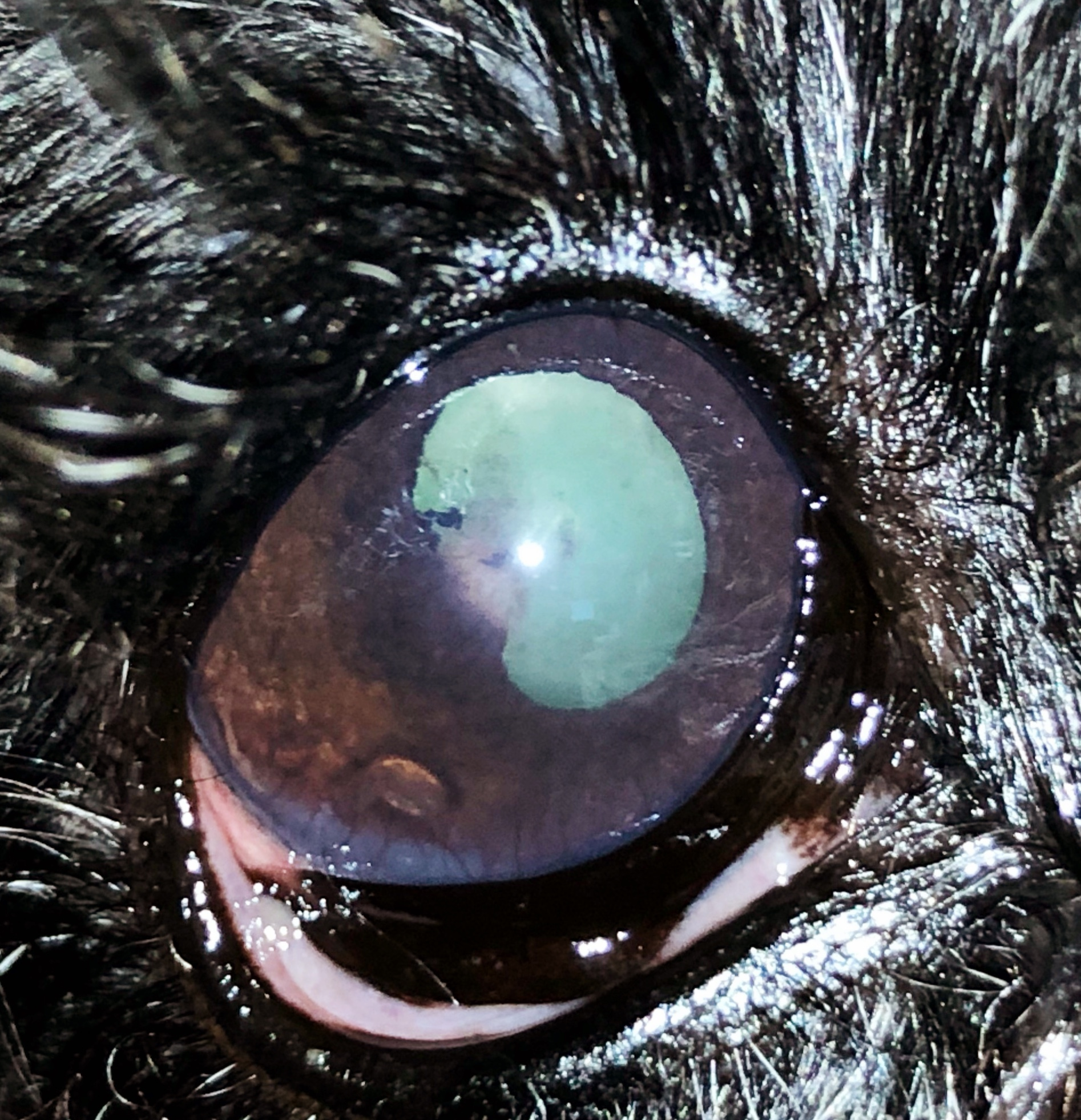 Nov. 2017 - recheck OD - no change in cataract Jan. 2018 - no change in cataract. KP's in anterior chamber, no flare. Blood work normal. responded nicely to topical Pred.