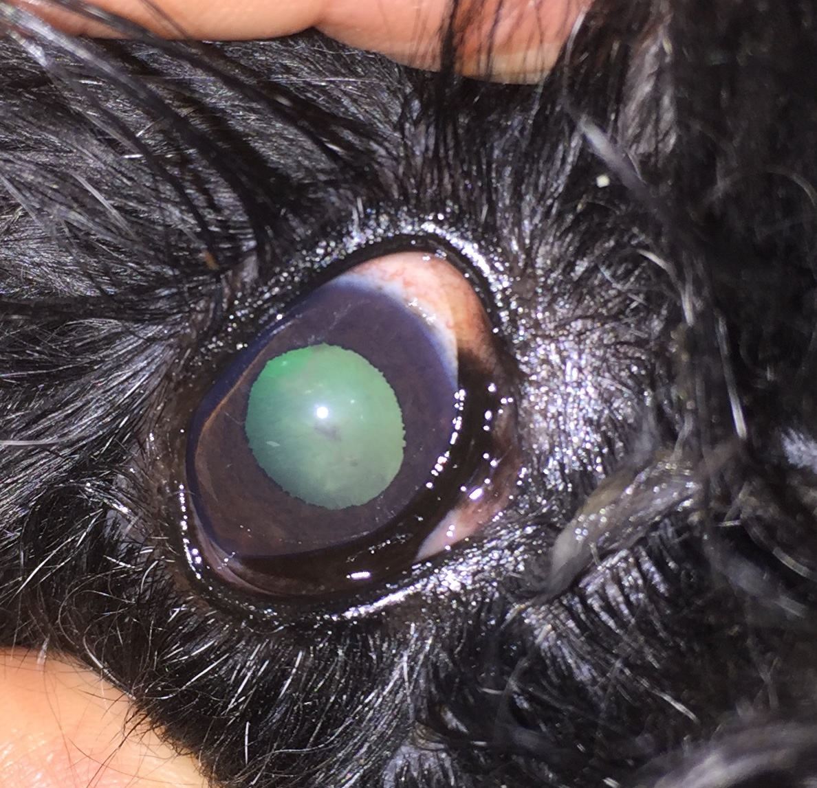 July 2018 -Acute severe uveitis with reappearance of the iris/lens abscess at 9 Oclock ( pink and swollen). Dog is almost blind.