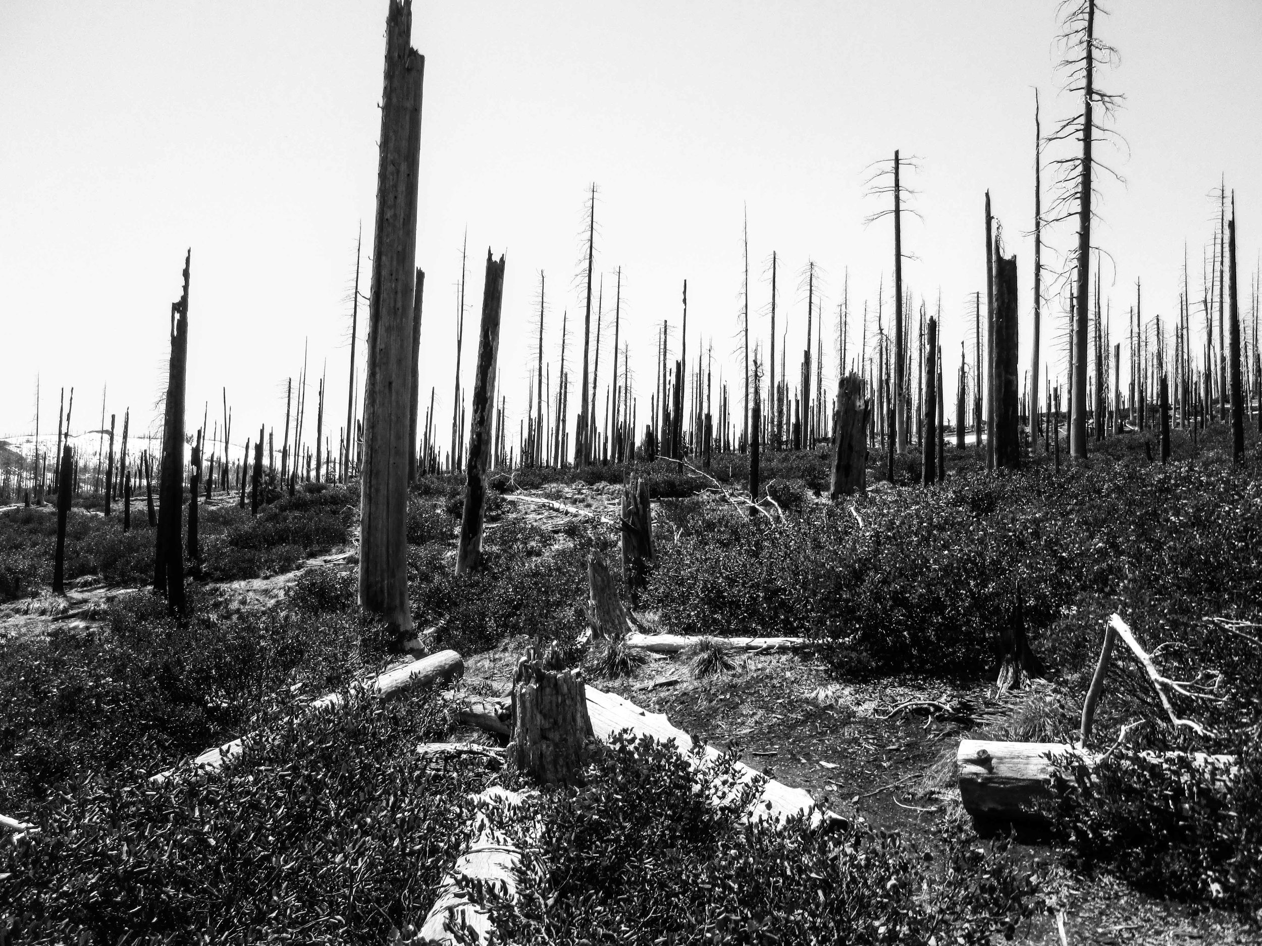 Burned Forest by Ross Edwards