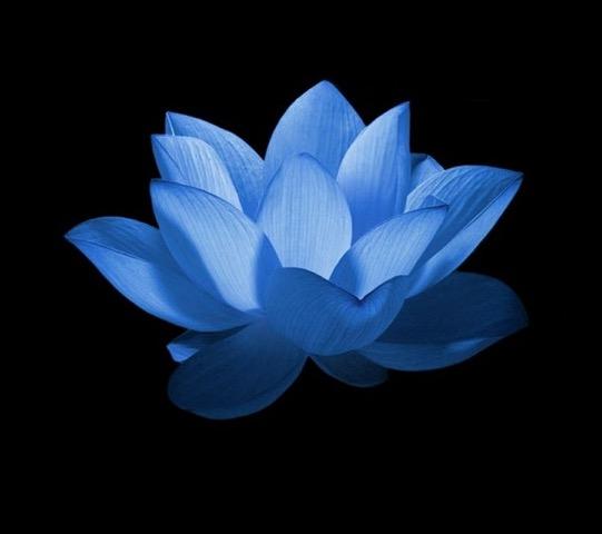 46e430bc9a8907135a84aafdc630cc71--blue-lotus-bouquet.jpeg
