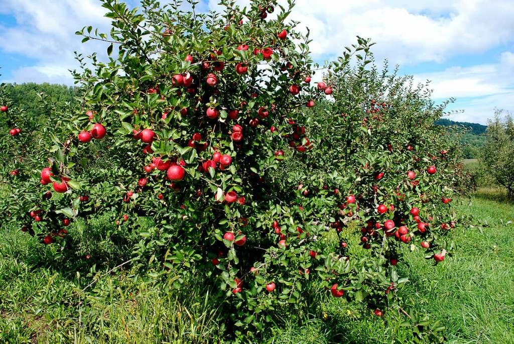 apple tree.jpg.1379727901617.jpg