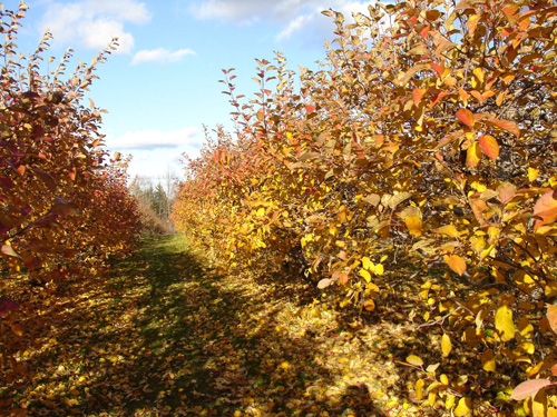fall apple trees.jpg
