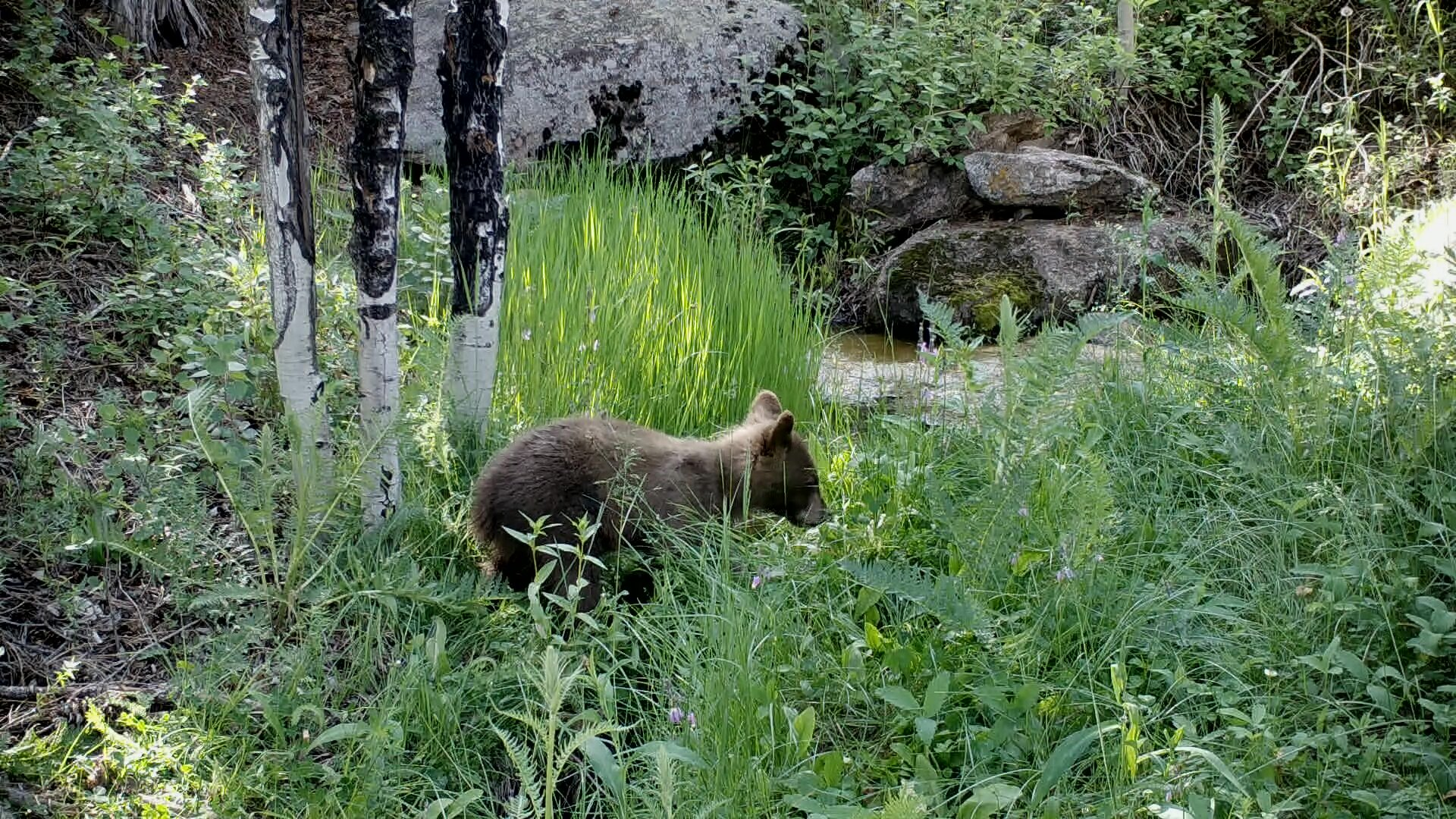 Black Bear cub at remote spring