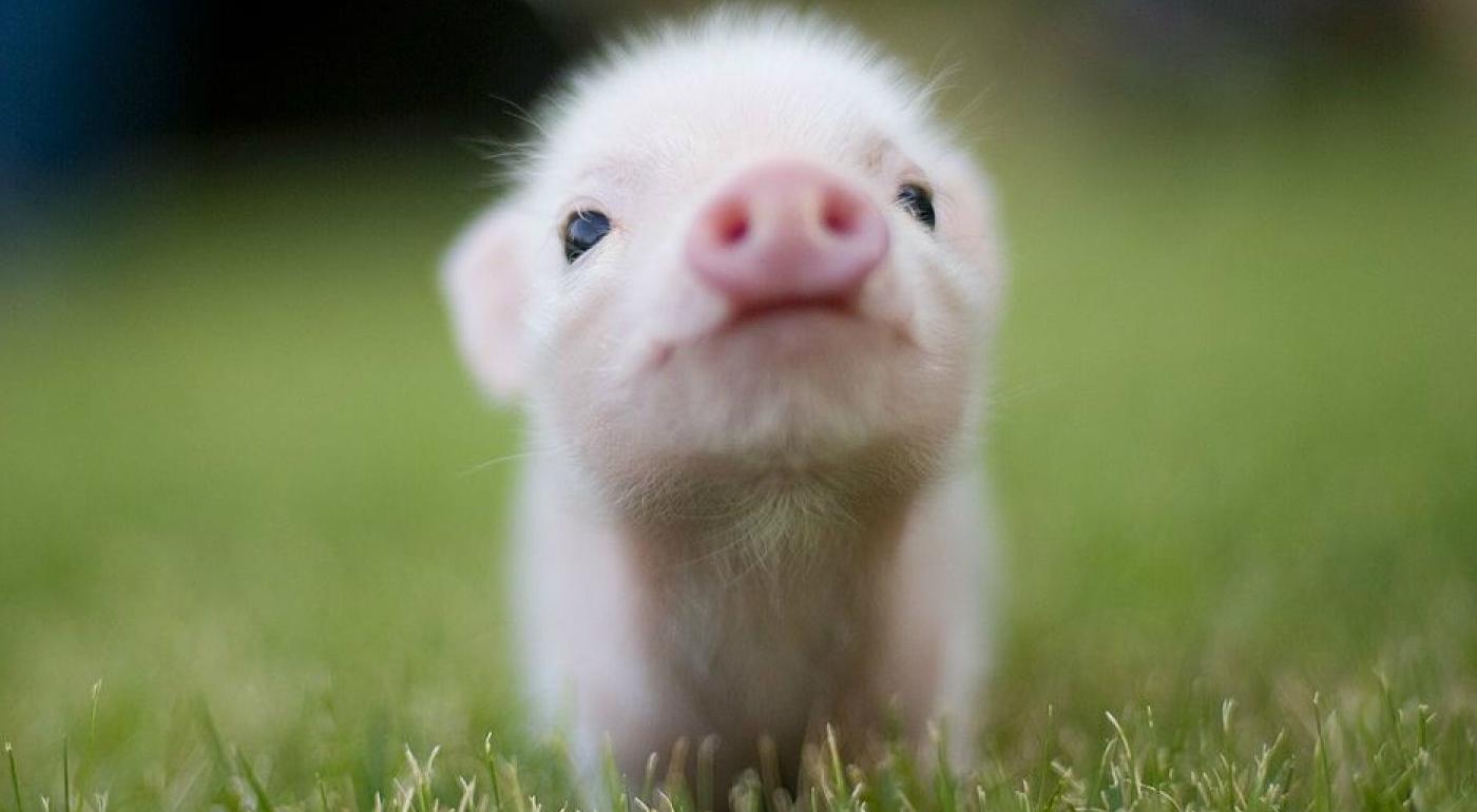 Teacup Pig 1.jpg