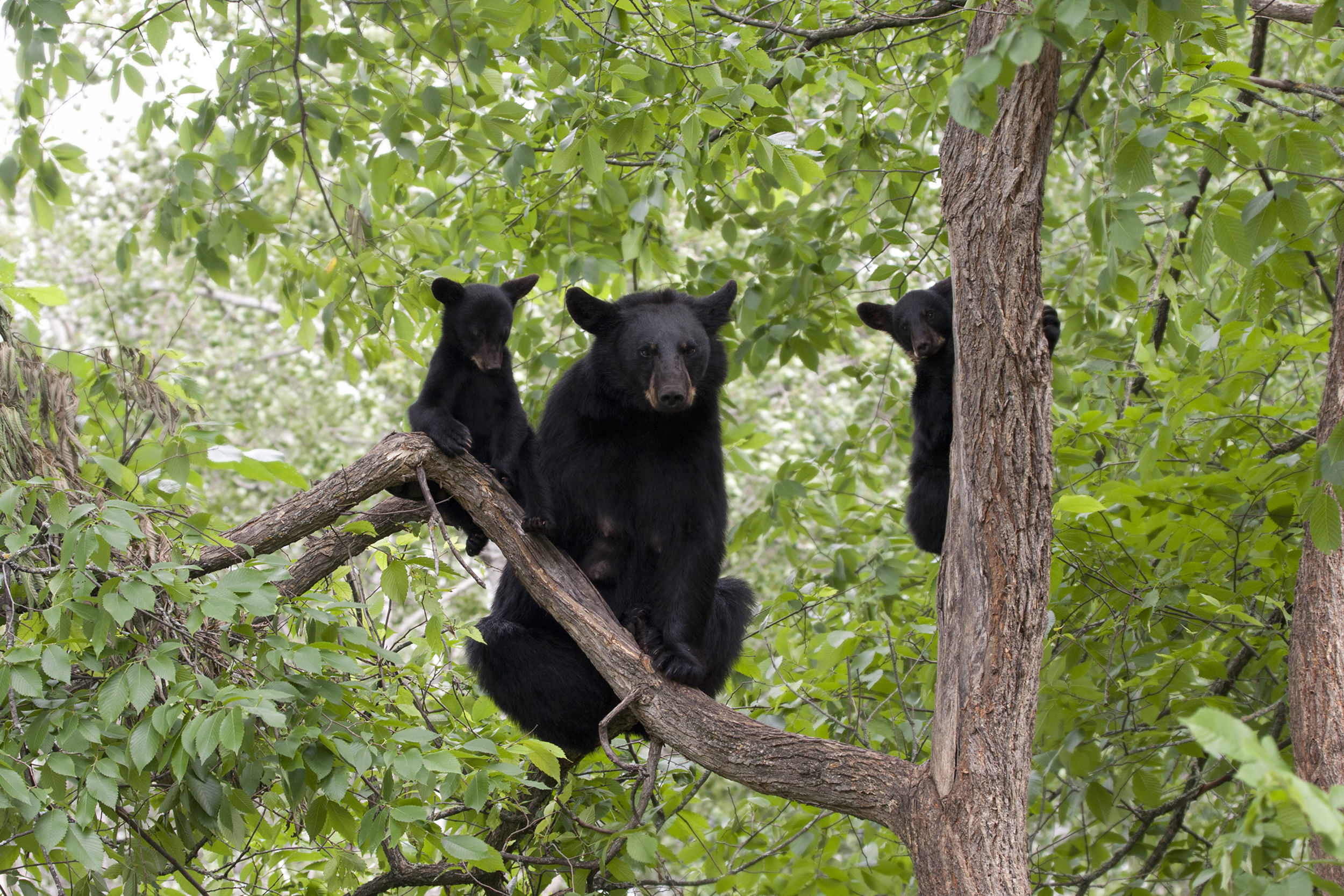 Fotoliaa-black-bear-sm-and-cubs in tree_sm101745565_Subscription_Monthly_XL.jpg