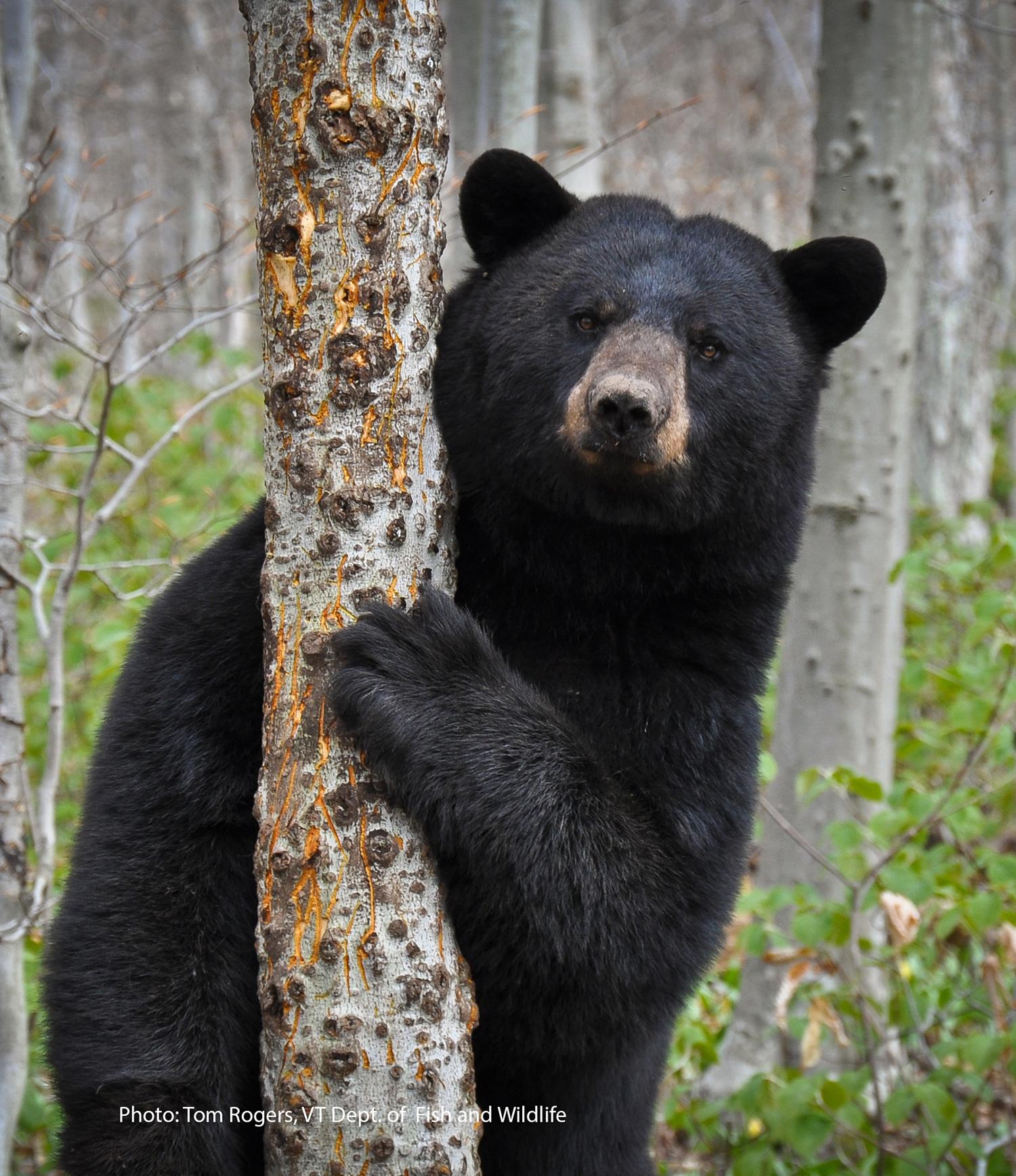 black-bear-tom-rogers(1)sm.jpg