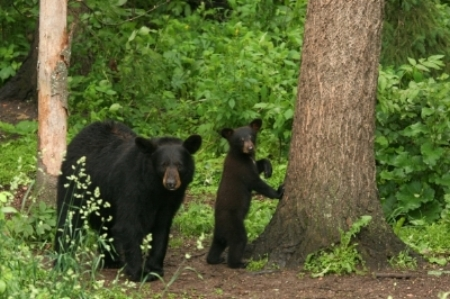 bear and cubFotolia_sm74737723_XL.jpg