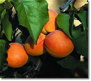 apricots2.jpg