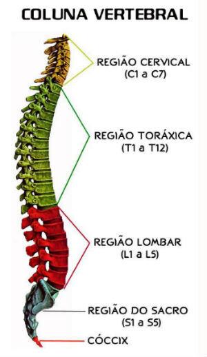 - Vértebras Cervicais: 7 vértebras;- Vértebras Dorsais ou Torácicas: 12 vértebras;- Vértebras Lombares: 5 vértebras;- Vértebras Sacrais: 5 vértebras fundidas;- Vértebra Coccígea: 4 vértebras fundidas. -