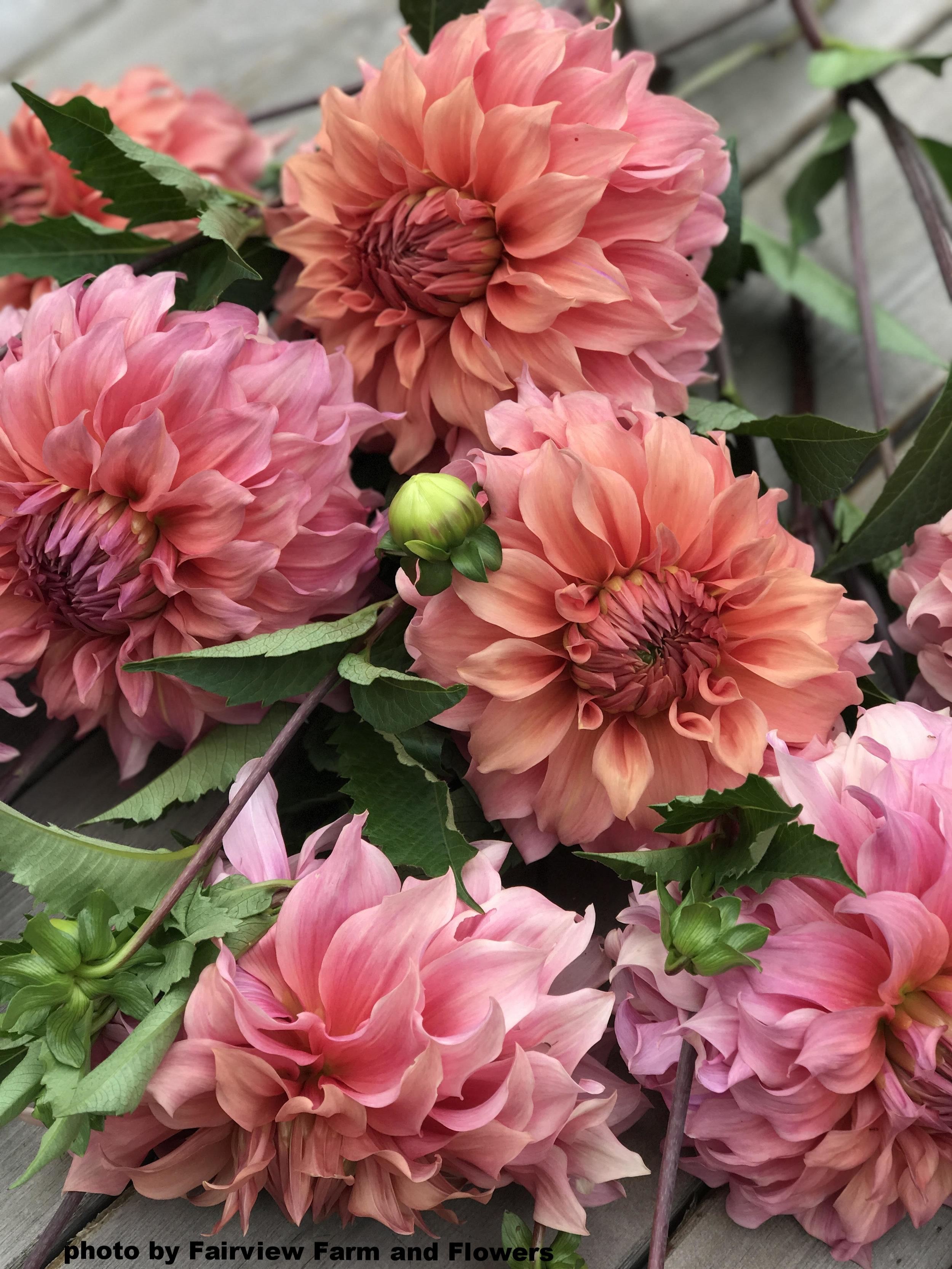 Fairview Farm and Flowers dahlia.jpg